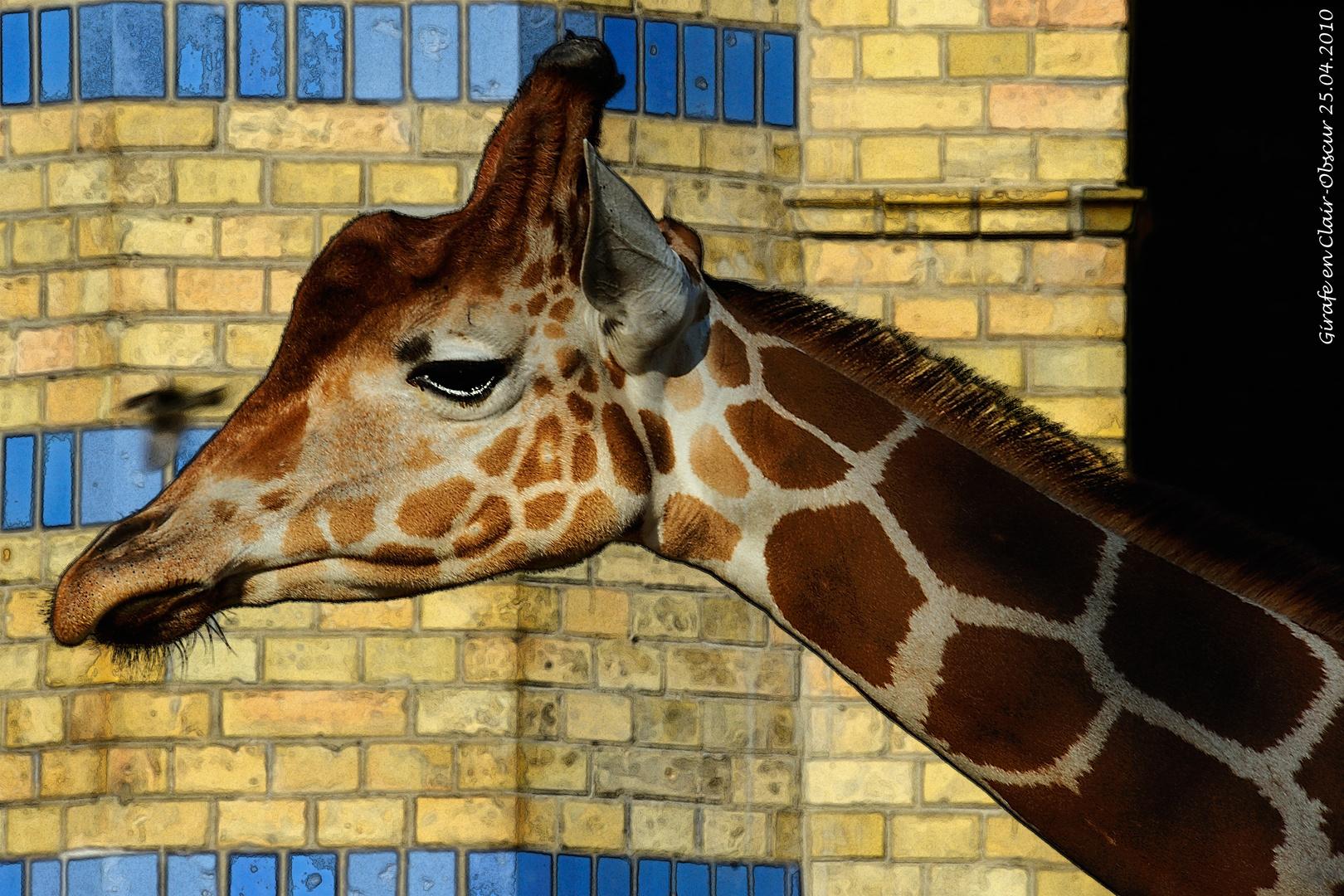 Girafe en Clair-Obscur (25.04.2010)