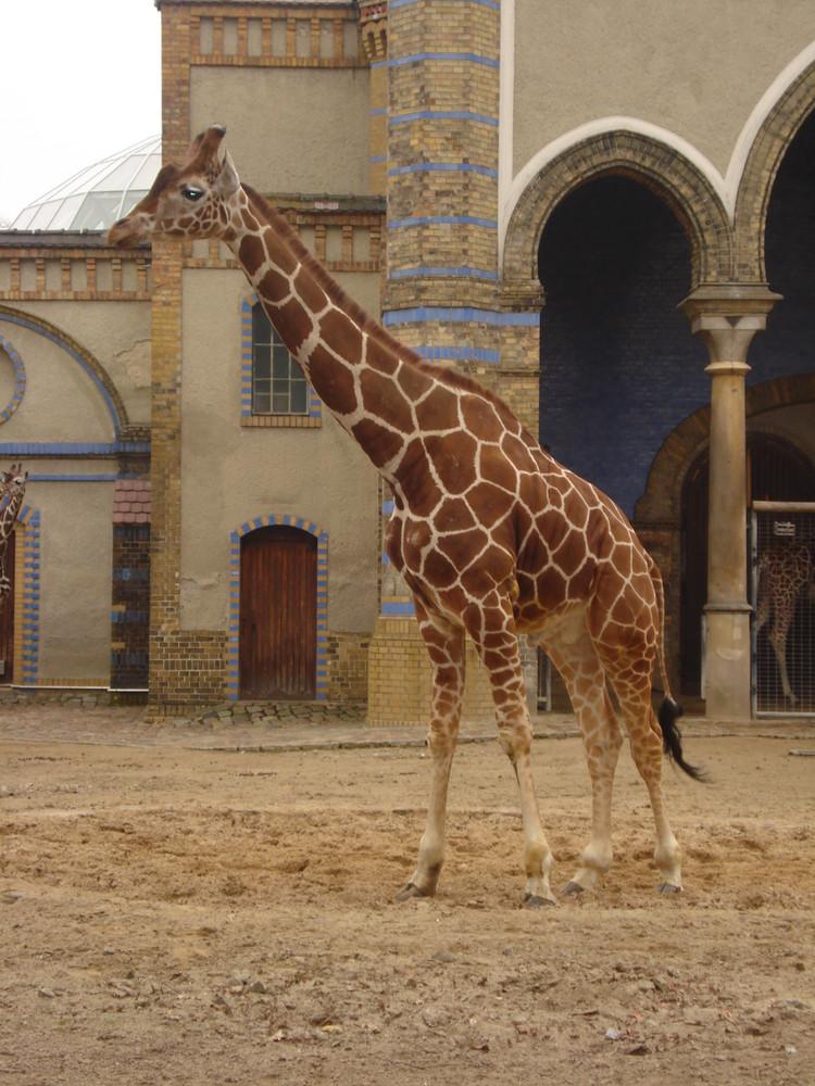 .Giraffa.
