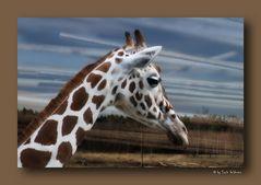 - Giraffe -