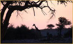 Giraffe als Scherenschnitt ... in Namibia