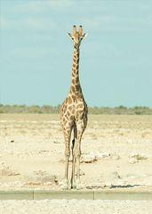Giraffe an der Bordsteinkante