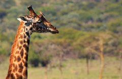 Giraffe and little pal.