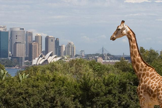 Giraffe auf dem Weg in die Oper...