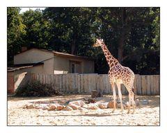 Giraffe auf dem Weg zum Futter