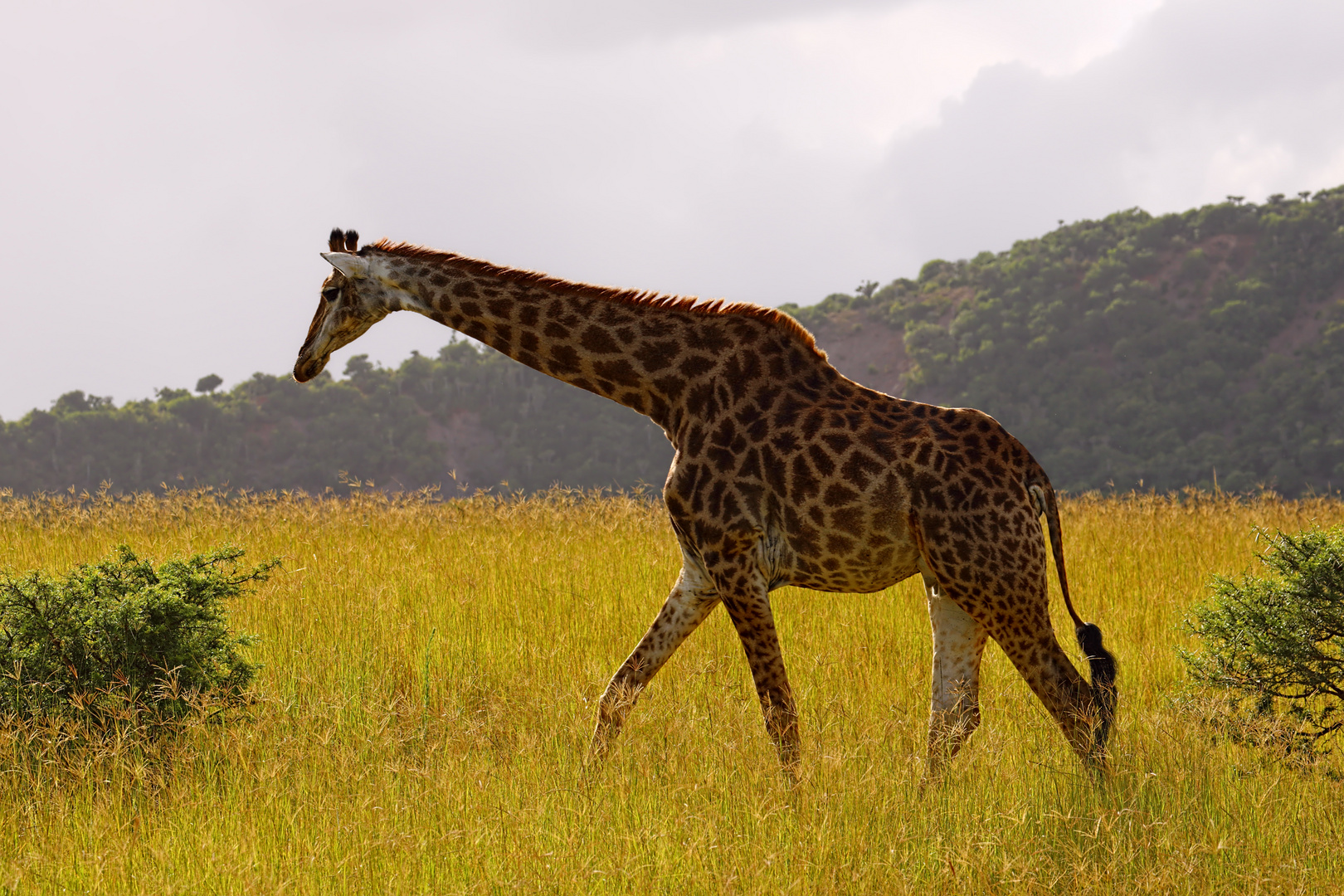 Giraffe auf Futtersuche