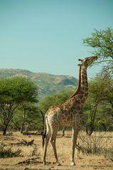 Giraffe beim Essen