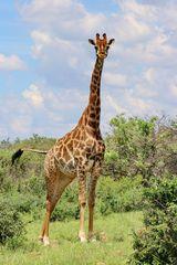 Giraffe Dame im Vollformat