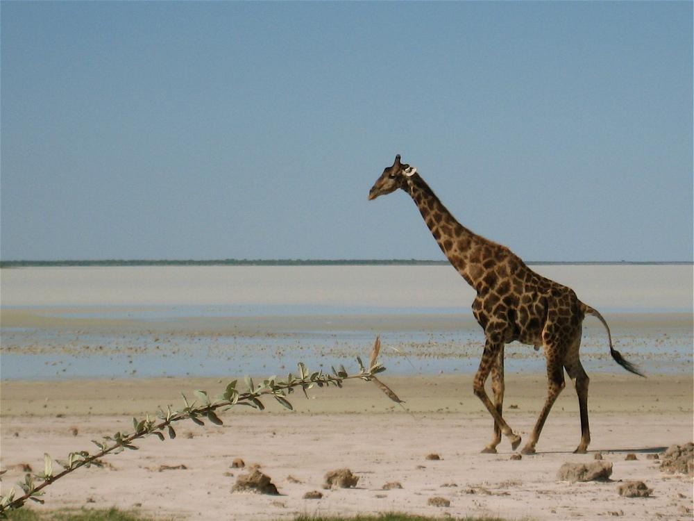 giraffe - etosha n.p.
