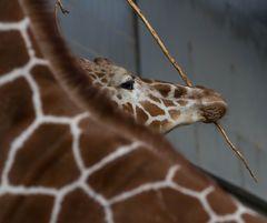 Giraffe (Giraffa camelopardalis)