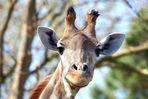 Giraffe (I)