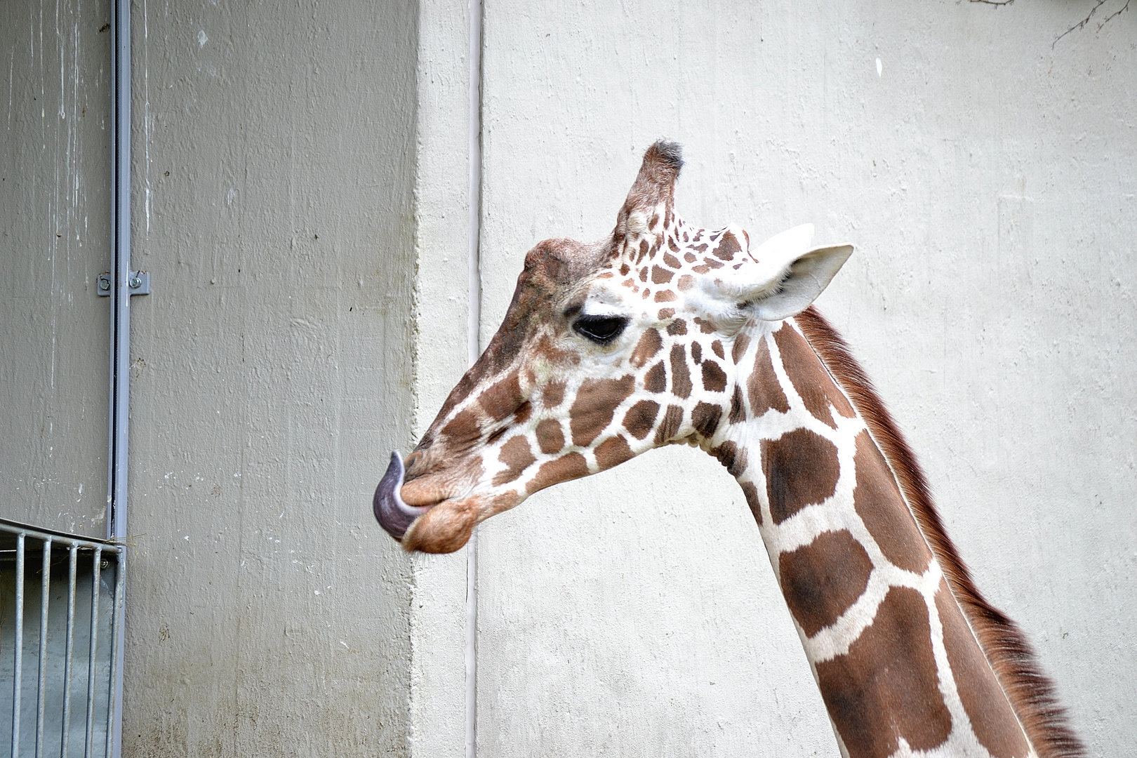 Giraffe im Allwetter Zoo