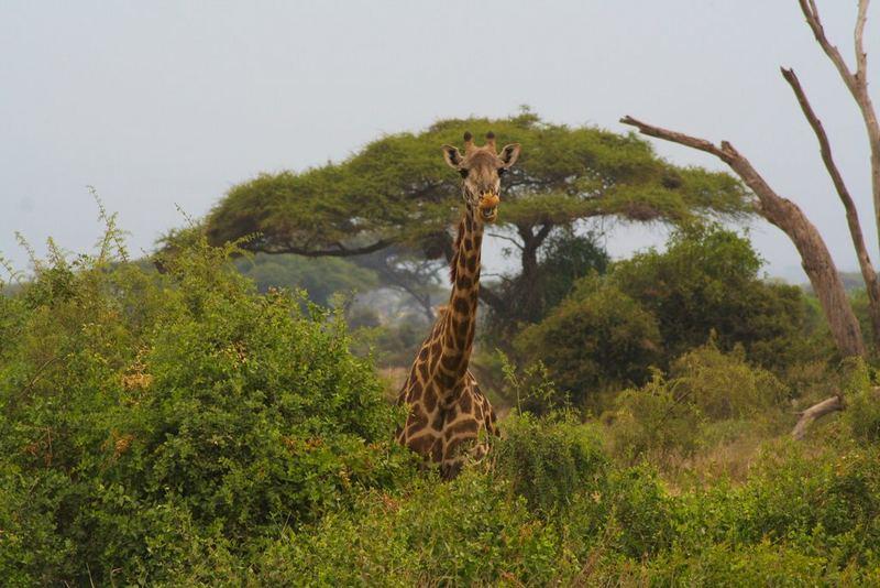 Giraffe im Amboseli
