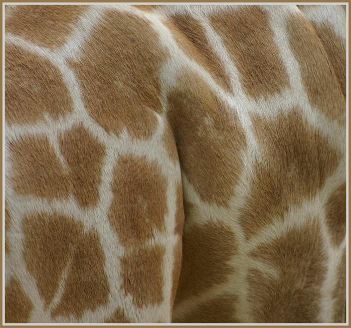 Giraffe im Detail