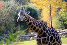 Giraffe im Herbst