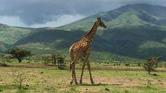 Giraffe im Ngorongoro-Krater