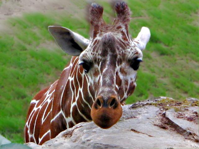 Giraffe im Nürnberger Zoo