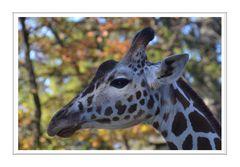 Giraffe im Profil