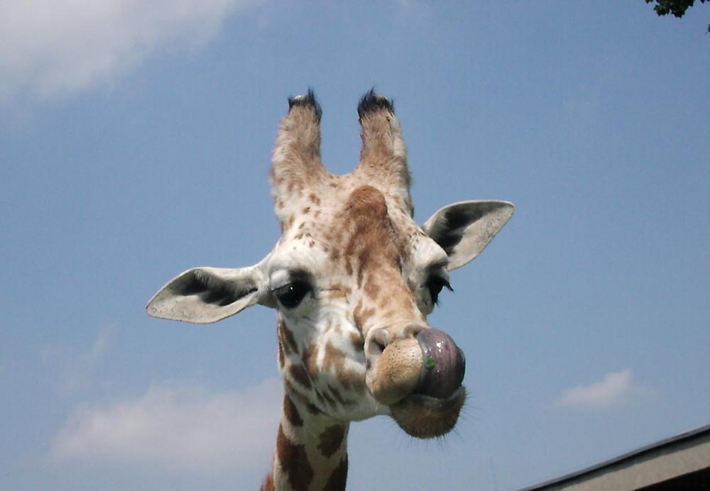 Giraffe im Zoo