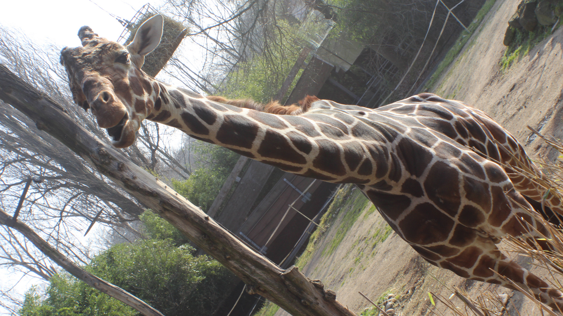Giraffe im Zoo Duisburg