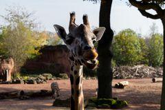 Giraffe im Zoo Hannover