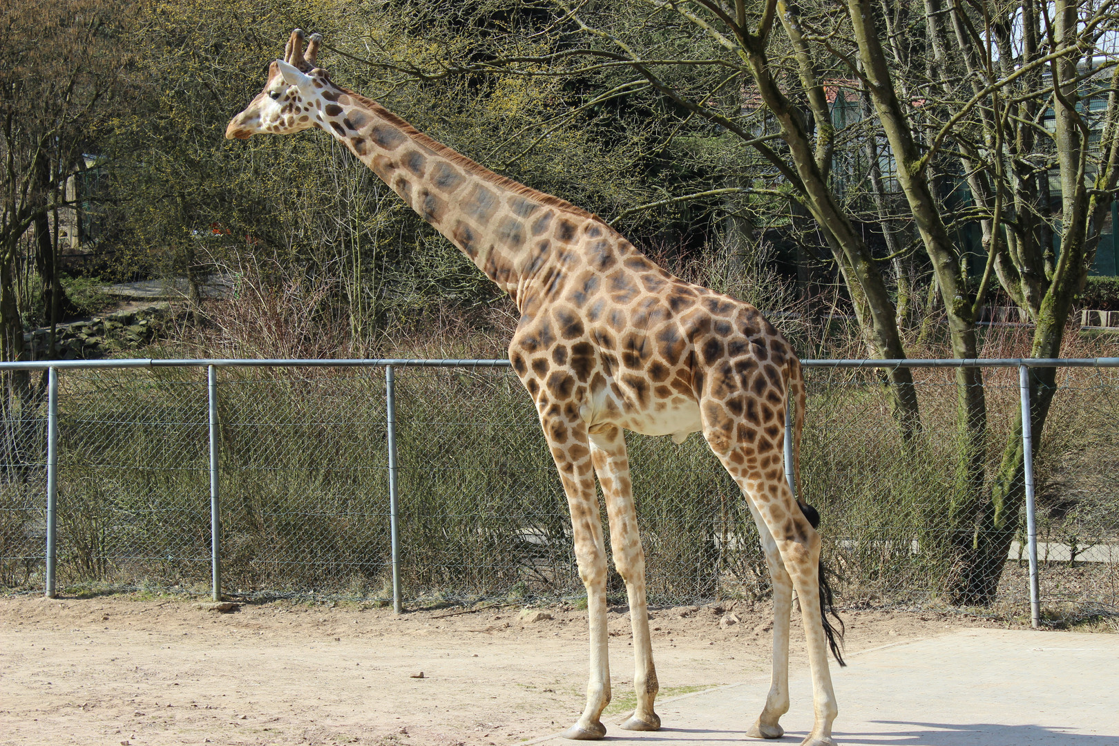 Giraffe im Zoo in Neunkirchen