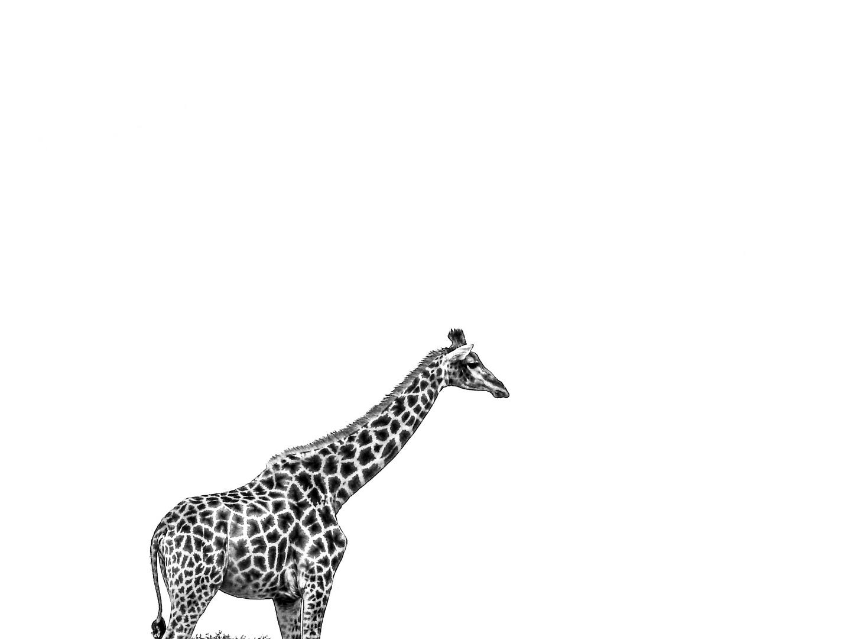 Giraffe in der Weite