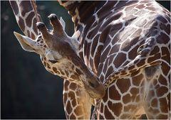 Giraffe in preparation for bullshit!