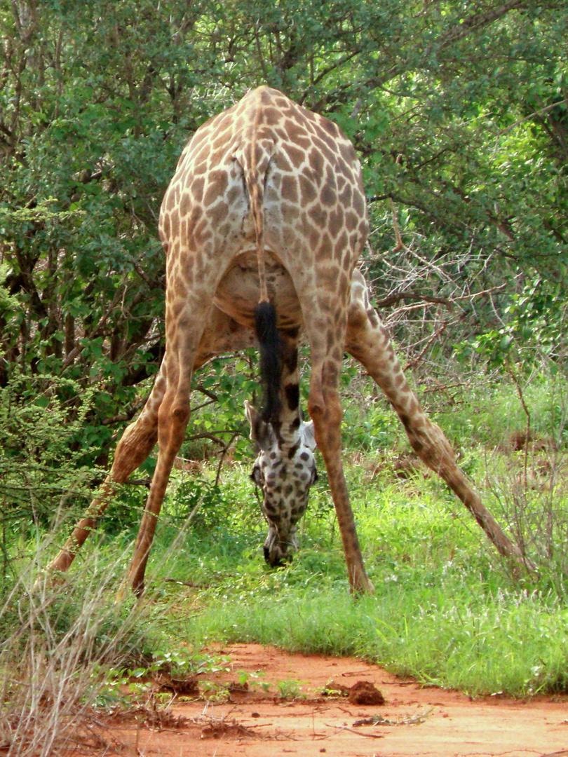 Giraffe - mal anders