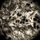 Giraffe mit bea