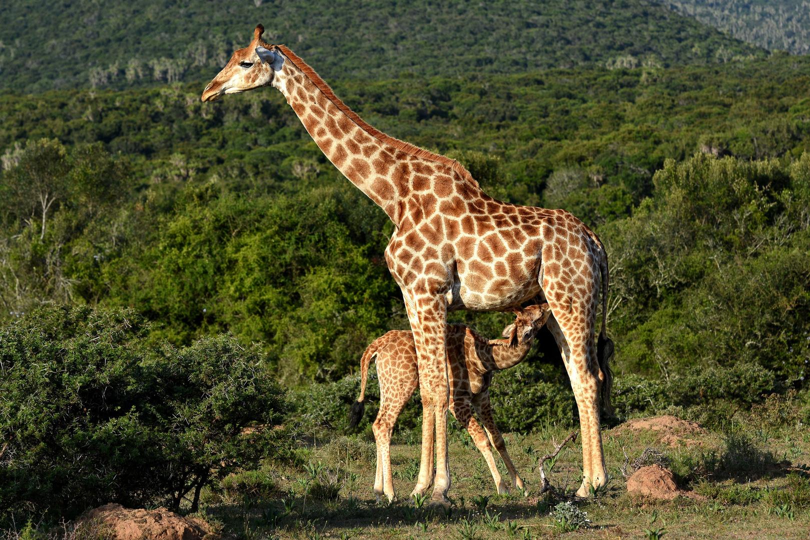 Giraffe mit Jungtier