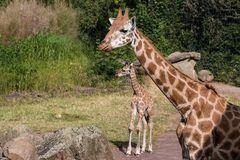 Giraffe mit Nachwuchs