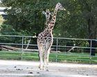 Giraffe mit zwei Köpfen