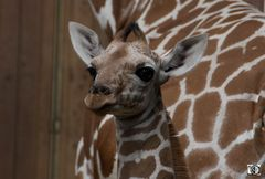 Giraffe Mkali