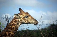 Giraffe ragt über dem Baum