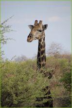 Giraffe schaut ... in Nambia