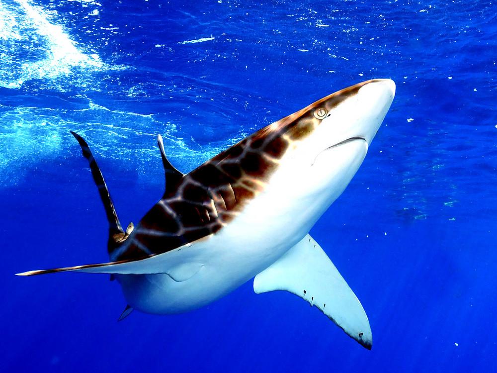 giraffe shark