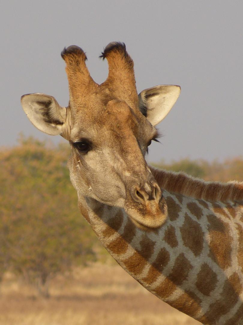 Giraffe - Südafrika