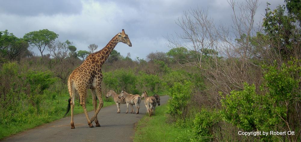 Giraffe und Zebras gesehen in Südafrika....