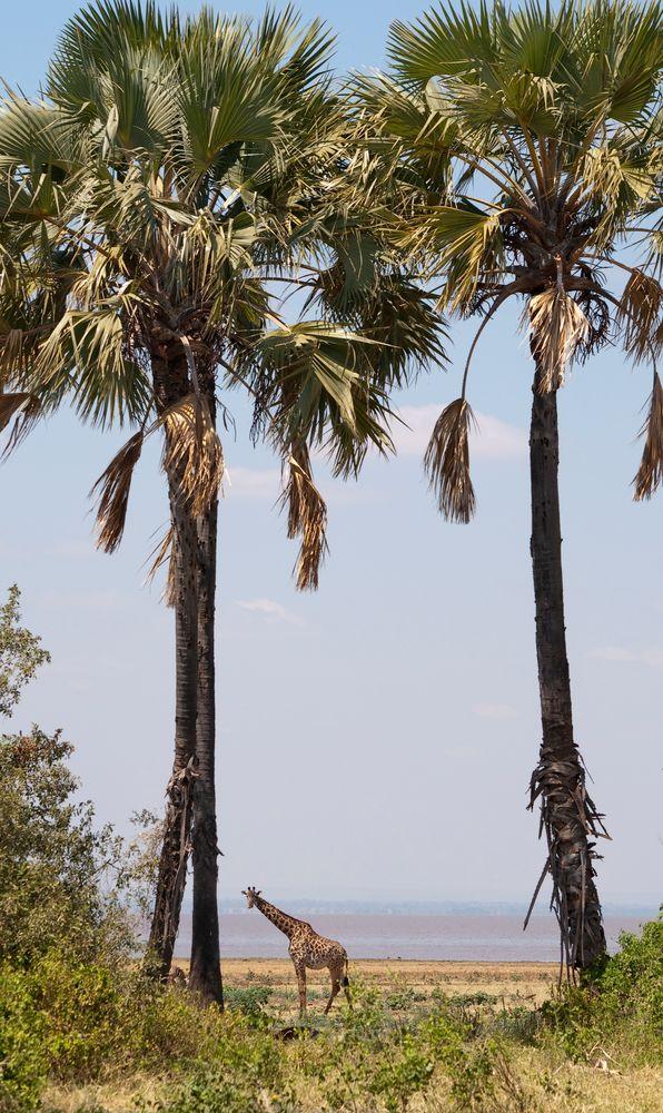 Giraffe unter Palmen