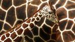Giraffe vor der Mama 2010
