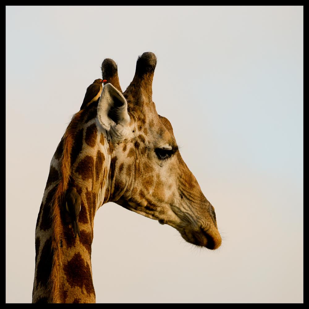 giraffe with two birds