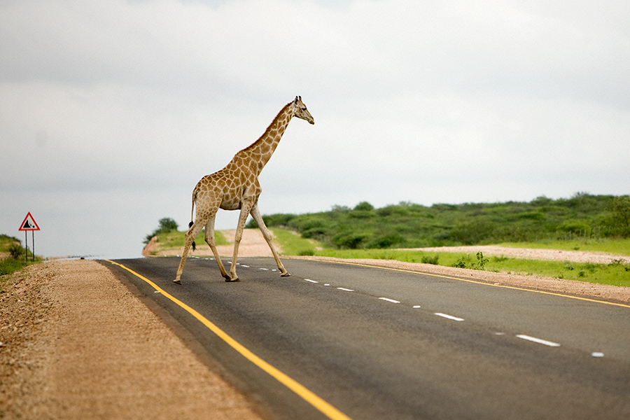Giraffe Xing