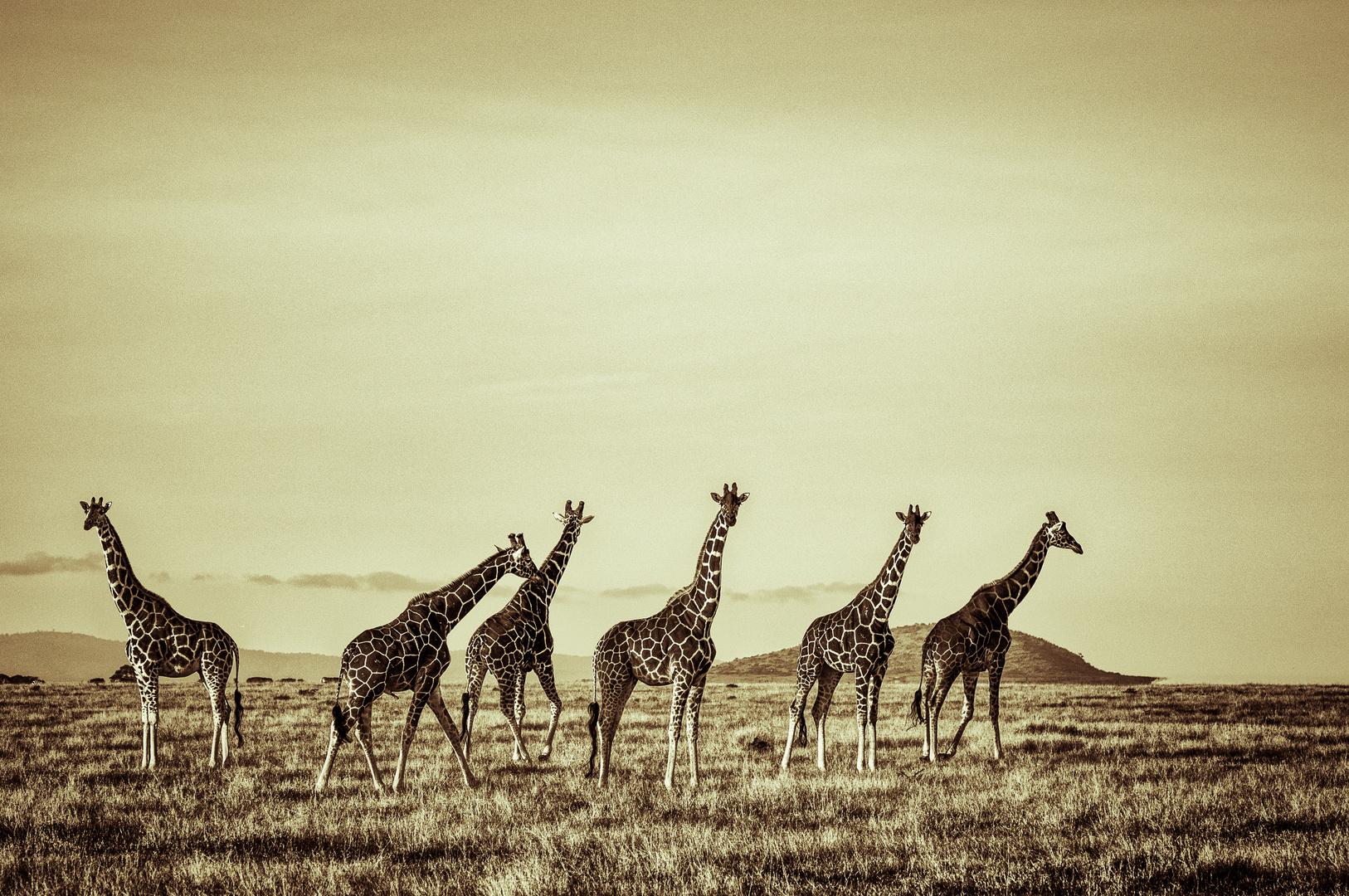 Giraffen 2