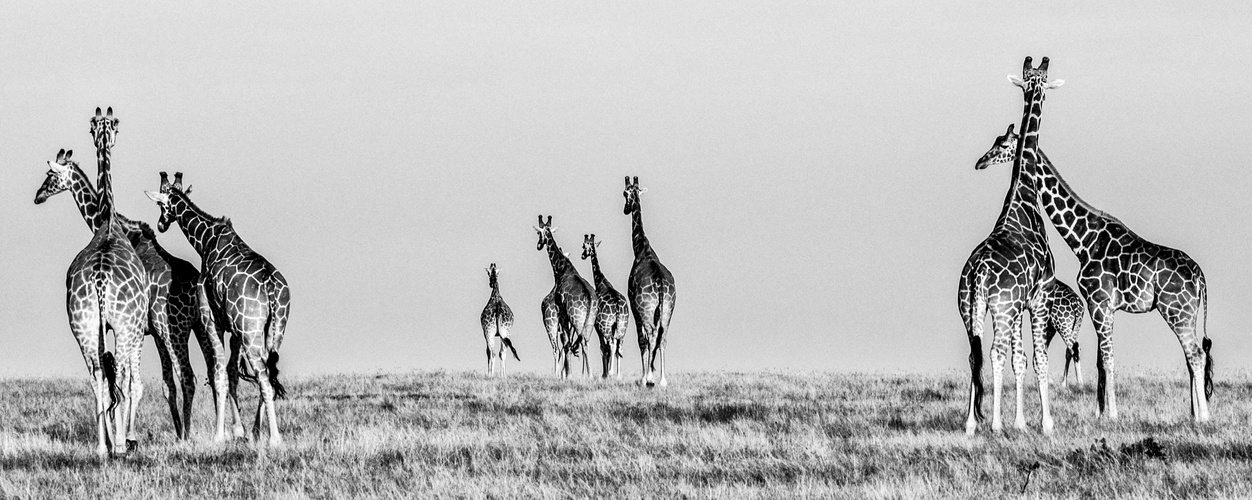 Giraffen 6