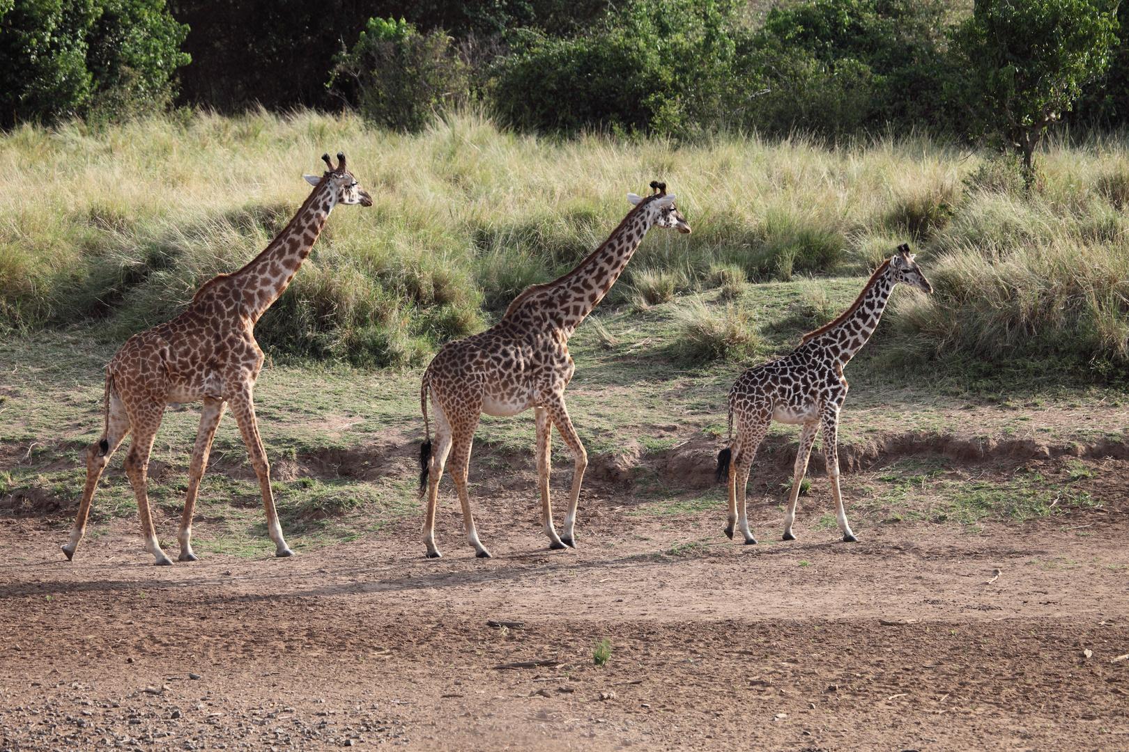 Giraffen am Mara-Fluss