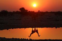 Giraffen am Okaukuejo Wasserloch
