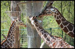 Giraffen beim Fressen