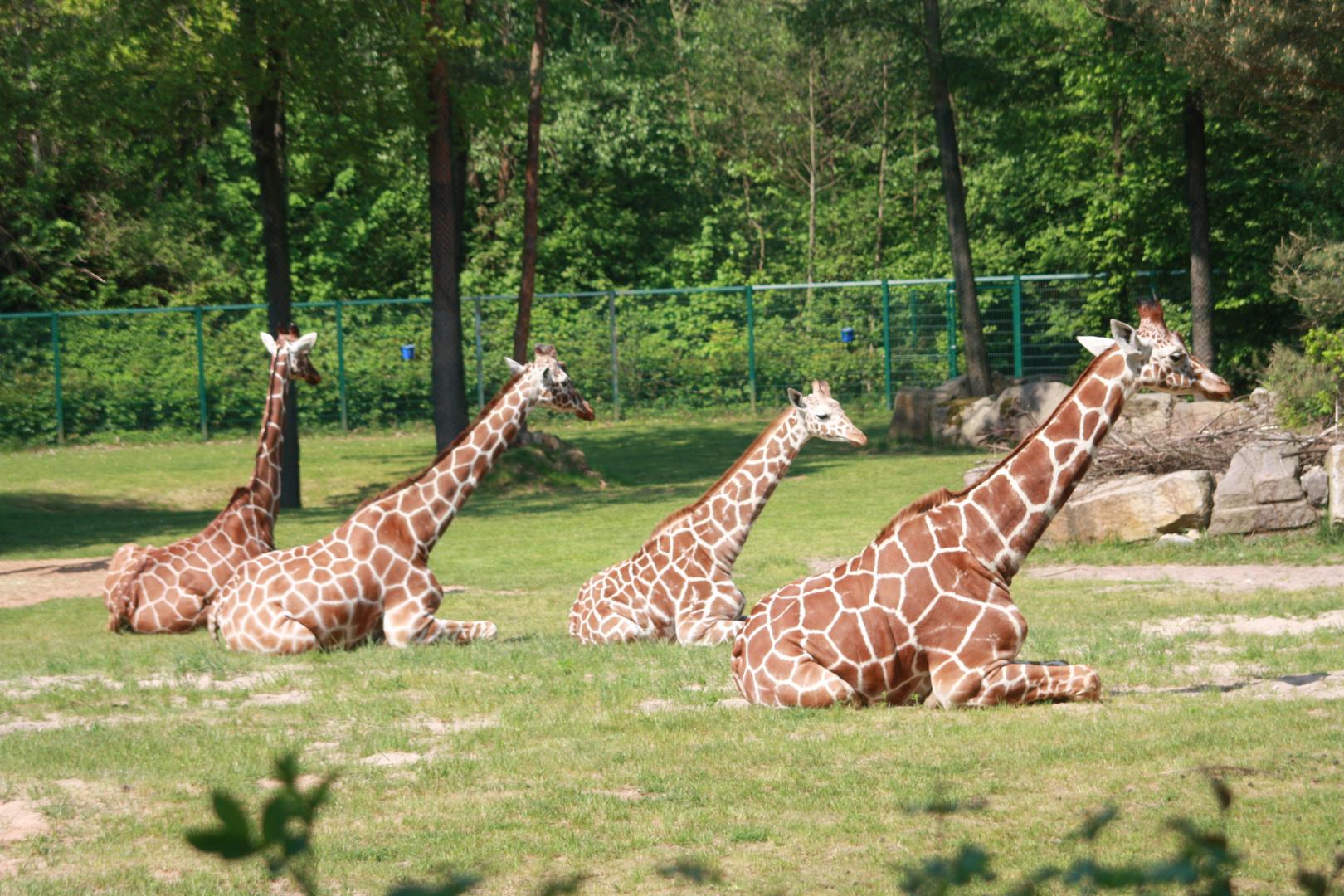 Giraffen beim Relaxen