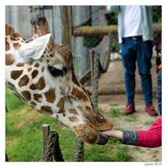 Giraffen beißen nicht...