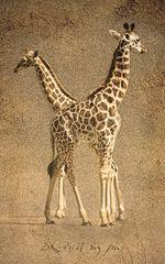 Giraffen - Die Babys